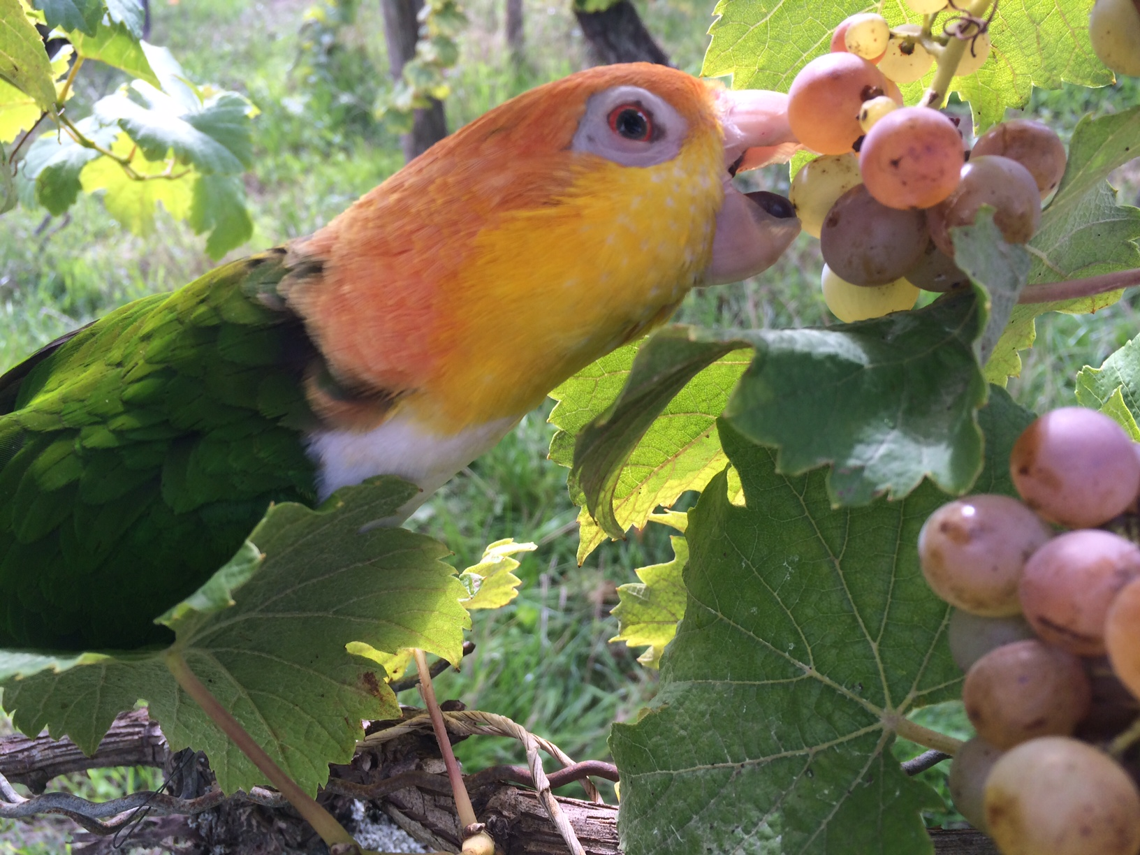 """""""O'zapft is"""": a parrot kicks off our harvest"""
